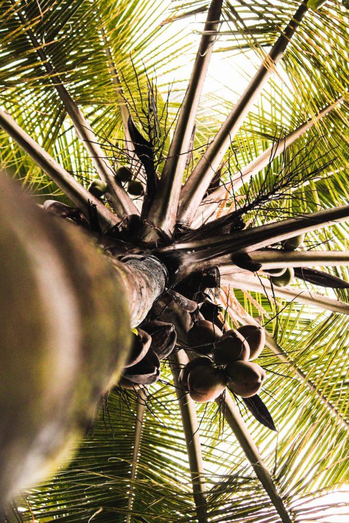 低GI的椰花蜜糖是用椰子花的花蜜提煉而成